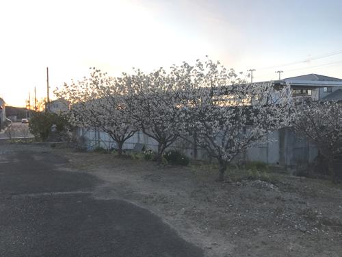 サクランボの木 花